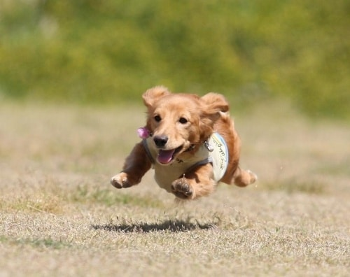 飛行犬のモカ