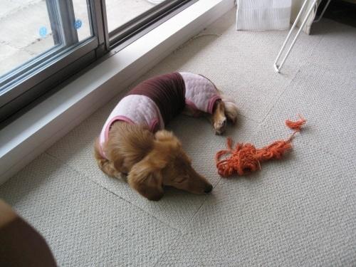 モカの避妊手術