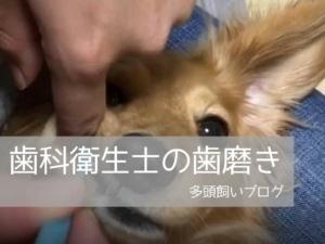歯科衛生士の犬の歯磨き