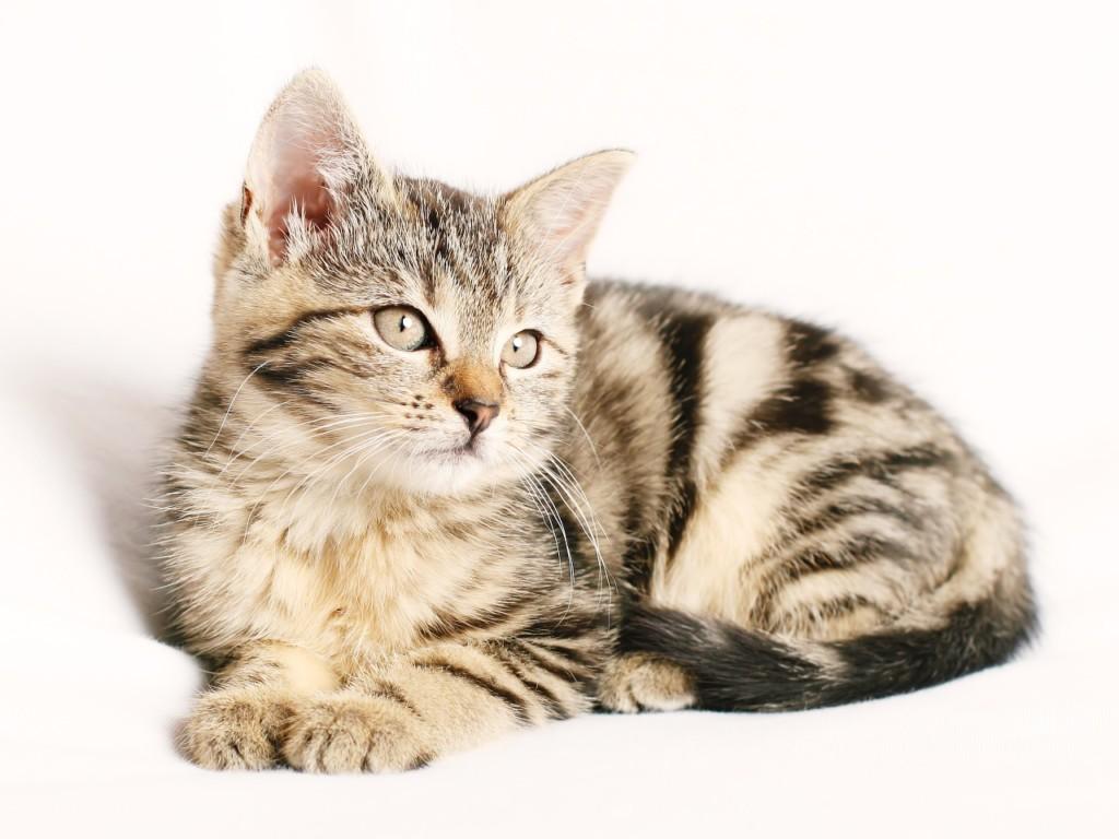 トラ猫の子猫