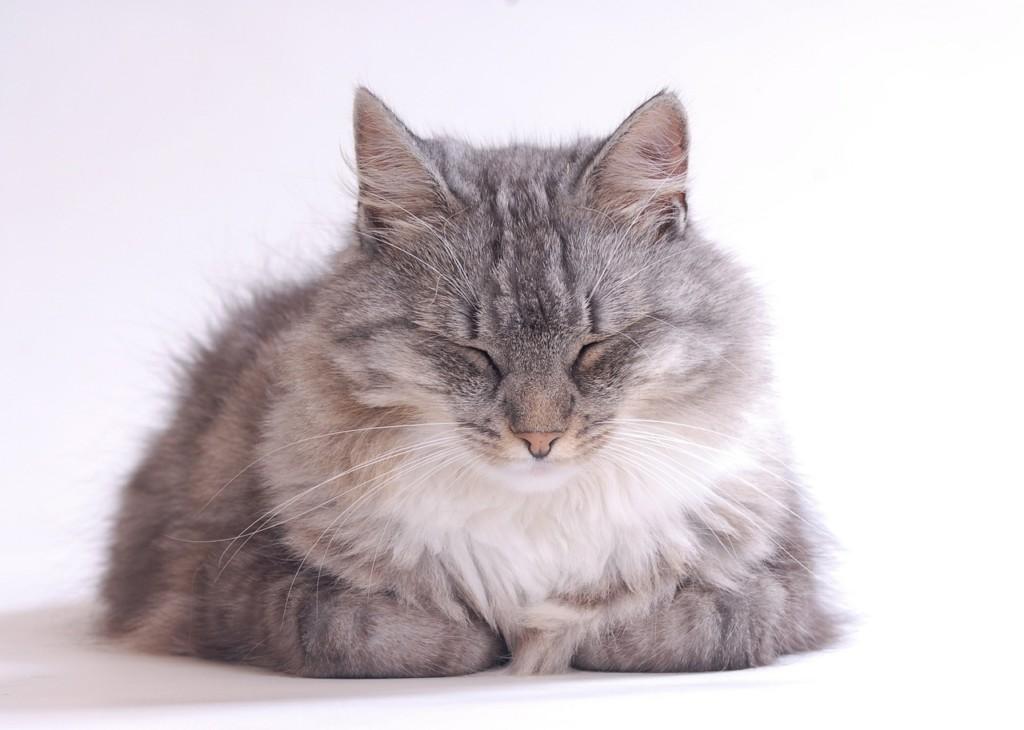 長毛種のネコ