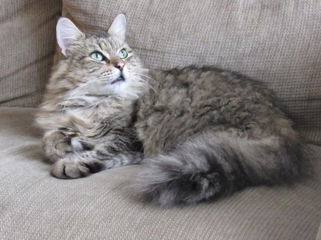 長い毛のネコ