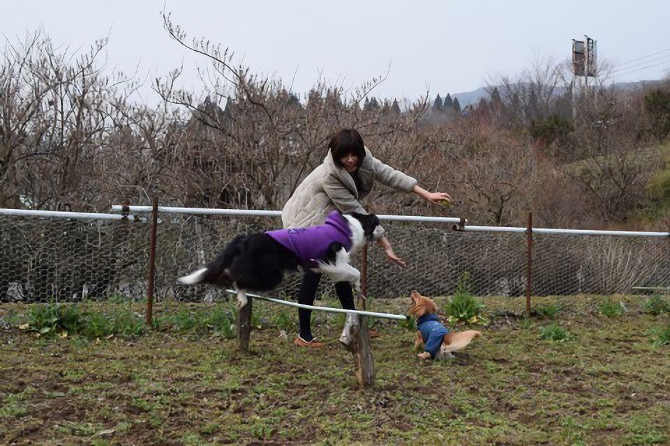 民宿水分村のドッグランのアジリティで遊ぶボーダーコリーのティファニー